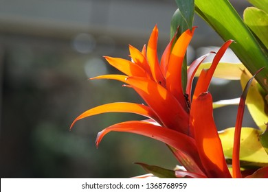 Guzmania lingulata or  droophead tufted airplant, scarlet star