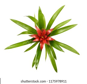 Guzmania minor (tufted airplant ) isolated on white background