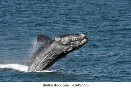 GV, General View of a Southern Right Whale breaching, Hermanus, Western Cape