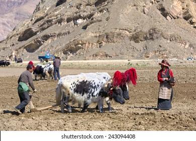 Gyangze area, Tibet, China - May 14, 2014:  Unidentified Tibetan farmers plough by draught yaks on farmland.