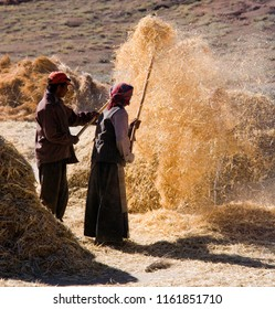 Gyantse. Tibet. China. 10.06.06. Harvest time on farmland near the town of Gyantse in the Tibet Autonomous Region of China.