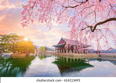Gyeongbokgung palace with cherry blossom tree in spring time in seoul city of korea, south korea.