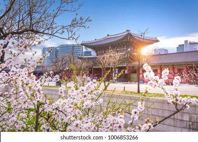 Gyeongbokgung palace with cherry blossomin spring in seoul, south korea.