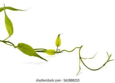 Gymnema inodorum (Lour.) Decne .: vegetables and herbs with medicinal properties.