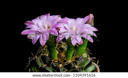 Gymnocalycium Cactus Beautiful Pink Colour Flowers Stock Photo Edit