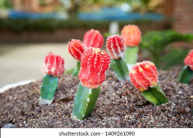 Gymnocalycium cactus plant , The red moon cactus grafted onto the rootstock grow in sandy soil.