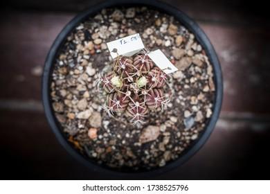 gymnocalycium mihanovichii cactus flower small