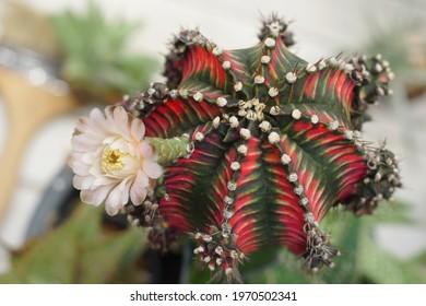 Gymnocalycium mihanovichii variegata is a species of cactus. Blooming pink cactus flower of Gymnocalycium mihanovichii on garden background. Free copy space. Advertisment of garden ideas concept.