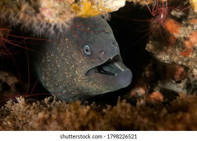 Gymnothorax mordax, California Moray Eel