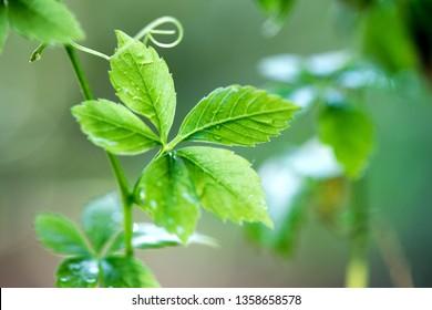 Gynostemma pentaphyllum (Thunb.) Or Jiaogulan (Chinese name), green leaves have property medicine.