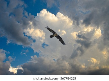 Gypaetus barbatus, Bearded vulture, flying in a stormy day in the sky of National Park of Gran Paradiso in the Orco Valley near Col del Nivolet, Ceresole Reale