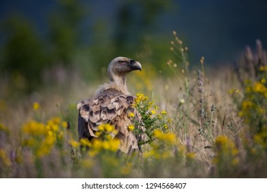 Gyps fulvus. The wild nature of Bulgaria.