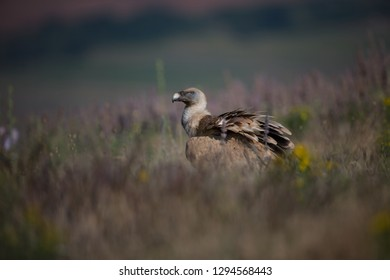Gyps fulvus. The wild nature of Bulgaria. Free nature.