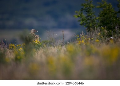 Gyps fulvus. The wild nature of Bulgaria. Free nature