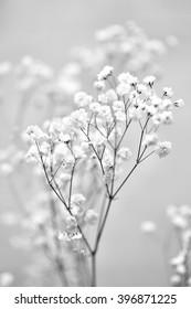 Gypsophila (Baby's-breath flowers), light, airy masses of small white flowers. black & white photo
