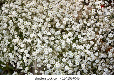 Gypsophila, commonly  known as baby's-breath, or babe's breath . Springtime, bride bouquet, home decoration concept.