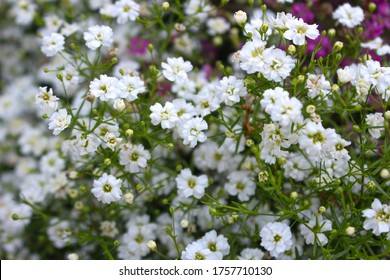 Gypsophila elgans flowers are in full bloom. Small petals are beautiful together. There is also the name Baby's-breath.