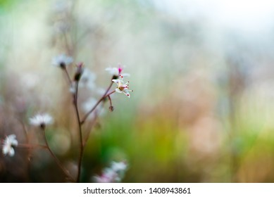 Gypsophila flowers. Baby`s breath or Gypsophila is beautiful flower in the carnation family on blurred floral nature backgrounds. Сlose up shot small delicate flowers in garden, selective soft focus.