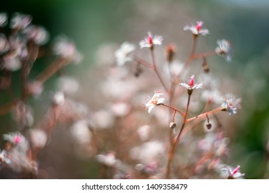 Gypsophila flowers. Baby`s breath or Gypsophila is beautiful flower in tarnation family on blurred floral nature backgrounds. Сlose up shot small delicate flowers in garden, selective soft focus.