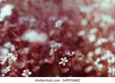 Gypsophila flowers. Baby`s breath or Gypsophila is beautiful flower in tarnation family on blurred floral nature backgrounds. Сlose up small delicate flowers in garden, selective soft focus, toned