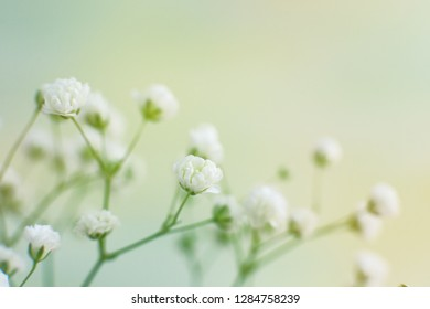 Gypsophila flowers on a gentle background. Macro. Gypsophila in soft light for design and decoration. Small flowers are for the bouquet decoration.