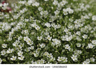 Gypsophila has tiny flowers and is often used in wedding bouquets