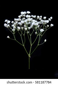 Gypsophila isolated on black background. Shallow depth of field. Selective focus