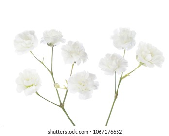 Gypsophila isolated on white background.
