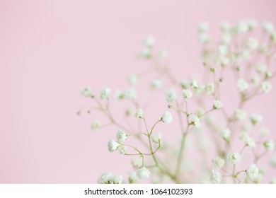 Gypsophila on pink background close-up, selective focus, copy space