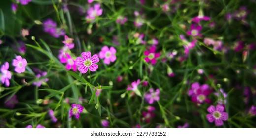 Gypsophila paniculata L, Beautiful Gypsophila flower, babysbreath gypsophila blooming in the garden.selective focus.natural background.