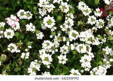 Gypsophila white flower HD wallpaper background