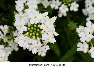 Gypsophila white flower on the natural background. Gypsophila royalty free stock images