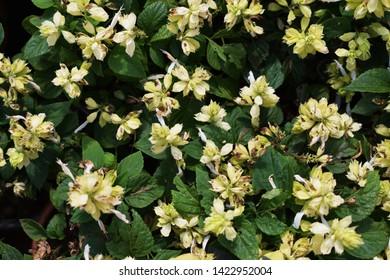 Gypsophila white flower royalty free stock images