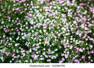gypsophilia flower.
