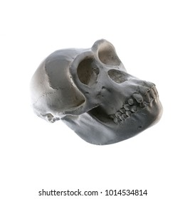 A gypsum skull of a Primate