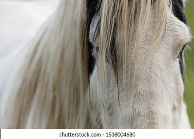 Gypsy horse Irish Tinker head portrait