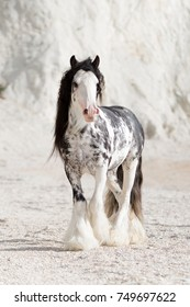 Gypsy horse stallion cob banner on the beach