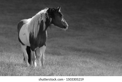 Gypsy horse stand on meadow.  Black-and-White photo.