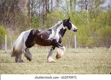Gypsy horse. Tinker stallion.