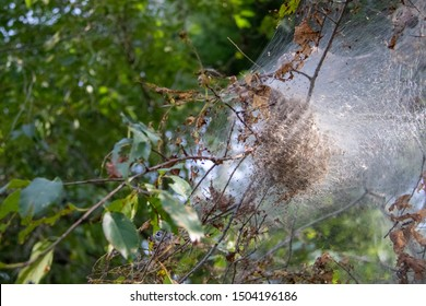 Gypsy moth nest in tree