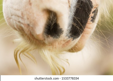 Gypsy vanner horse showing his mustache, close up