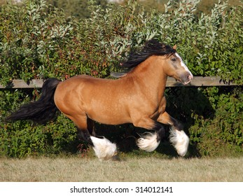 Gypsy Vanner Horse stallion gallops in paddock