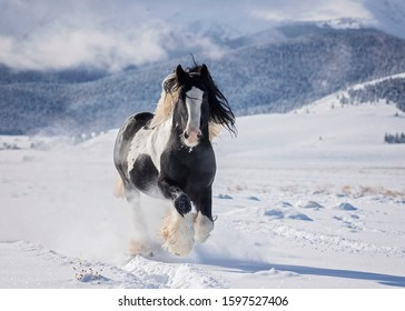 Gypsy Vanner Playing In Snow