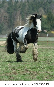 Gypsy vanner stallion running