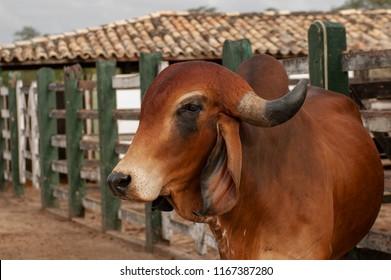 Gyr bull in a corral