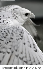 Gyr Falcon Falcons Wild Birds