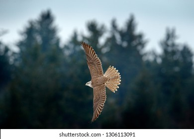 Gyrfalcon, Falco rusticolus, bird of prey fly. Flying rare bird with white head. Forest in cold winter, animal in nature habitat, Russia. Wildlife scene form nature. Falcon above the dark trees.