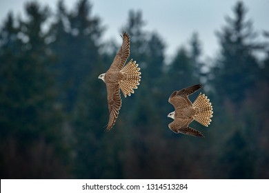 Gyrfalcon, Falco rusticolus, bird of prey fly. Flying rare bird. Forest in cold winter, animal in nature habitat, Russia. Wildlife scene form nature. Falcon above the trees. Bird fight on sky.