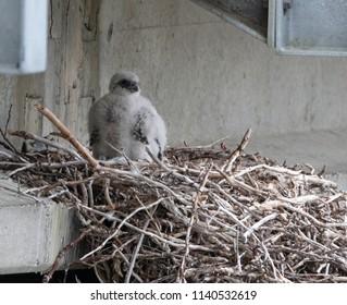 Gyrfalcon (Falco rusticolus) nestling on a nest under a bridge in Nome, Alaska