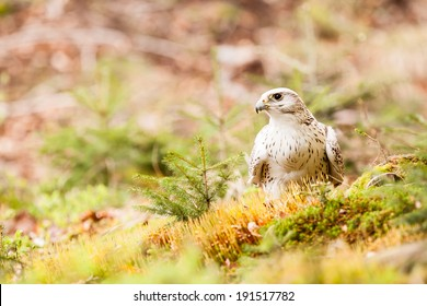 The Gyrfalcon or Falco rusticolus on the grass